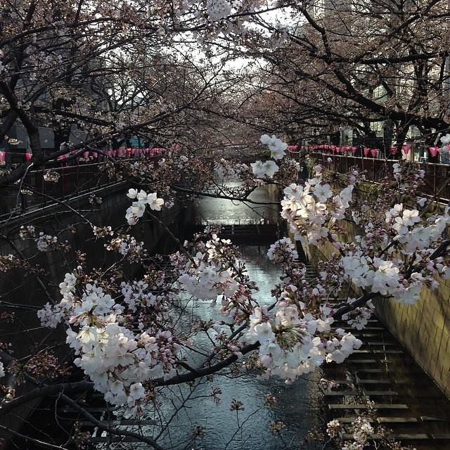 Sakura watching on the Meguro gawa