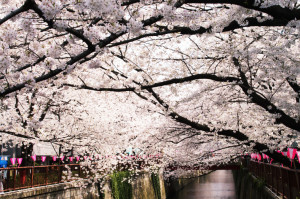 Hanami season in Meguro