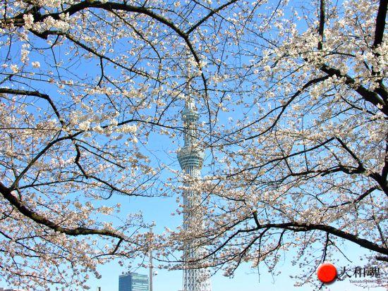Sakura trees blooming in Tokyo spring 2014