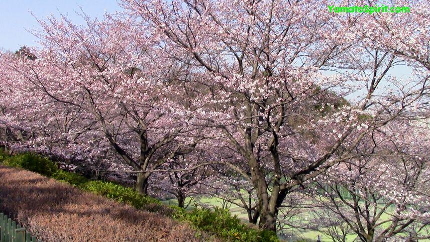 yamuenosakura01