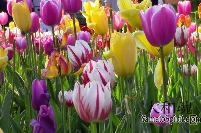 The tulips are in full bloom at the shibazakura festival