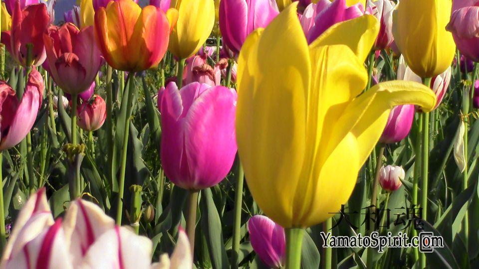 Tulip Garden - Shibazakura Festival - Chichibu, Japan